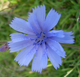 Chicory Flower, one of the Bach Flower 12 Healers