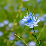 Chicory, one of the Bach Flower Remedies
