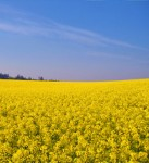 Field of Mustard - one of the Bach Flower Remedies