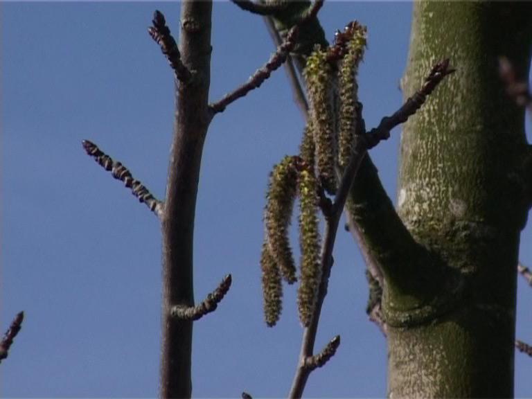 Aspen - Bach Flower Essences - Healing with Bach Flowers
