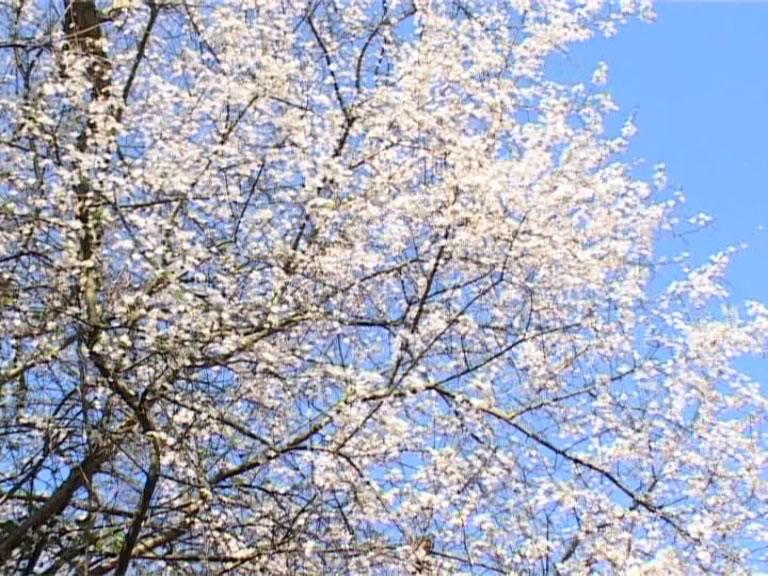 Cherry Plum - Bach Flower Essences - Healing with Bach Flowers