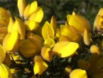 Gorse - Bach Flower Essences - Healing with Bach Flowers